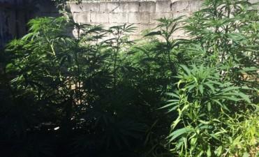 Secuestraron plantas de Marihuana en Sierras Bayas