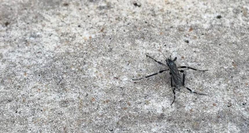 Autoridades sanitarias advierten que los mosquitos encontrados en la ciudad no son Aedes aegypti