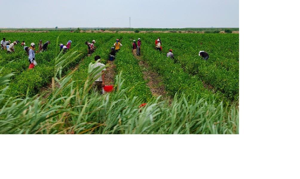 Procesan a directivos de una productora de frutos rojos por ´trata laboral´ de migrantes