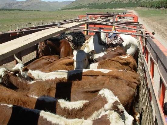 Nuevos requisitos para el movimiento de bovinos