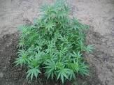 Secuestran planta de marihuana