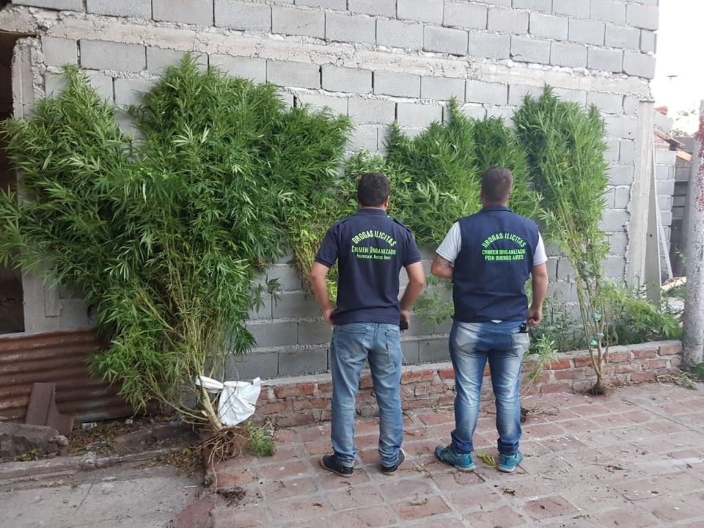 Secuestraron 4 plantas de marihuana: un imputado