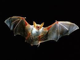 Se detectó un segundo caso de rabia en un murciélago