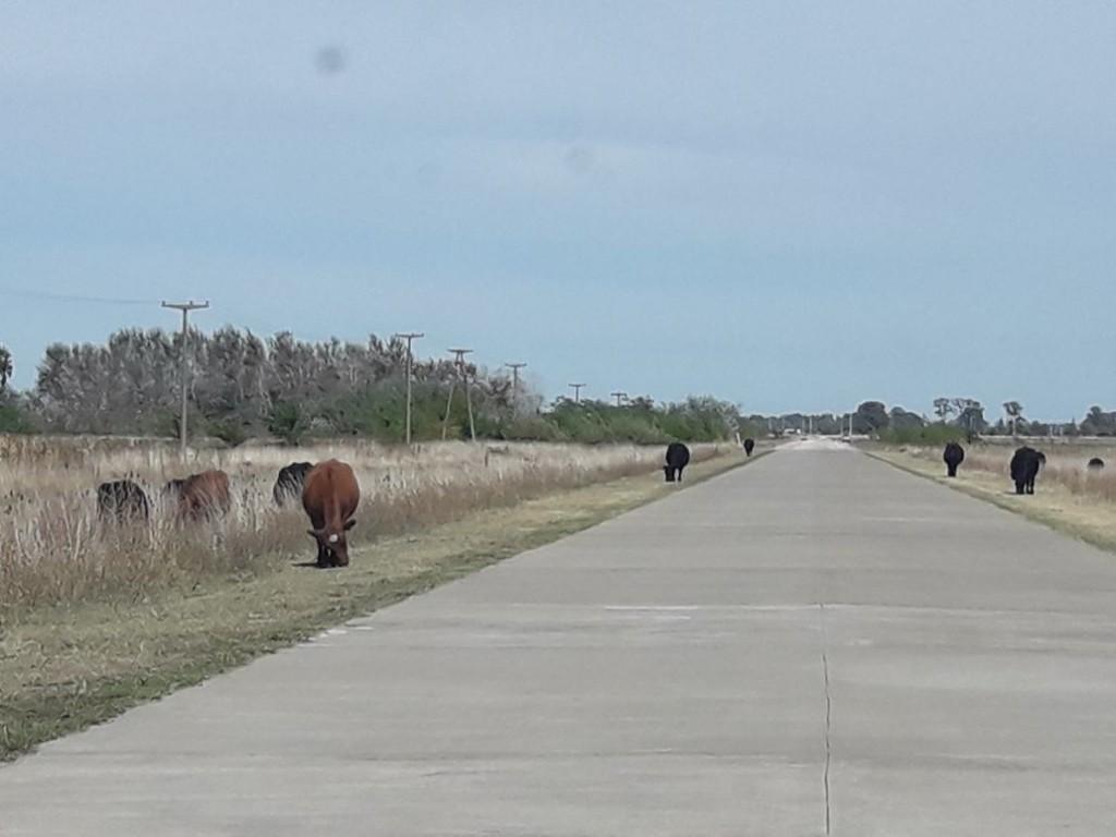 Más de 70 animales sueltos en el acceso al Aeródromo
