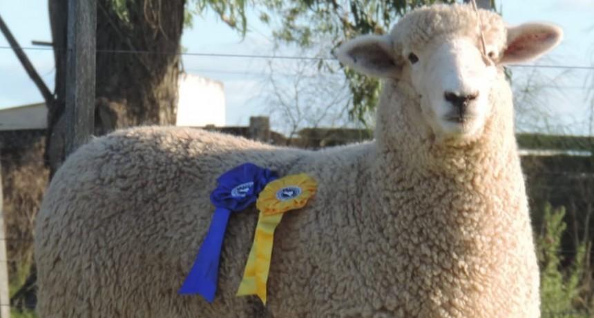 Adrián Barbieri productor agropecuario y criador de Romney Marsh habló de las bondades de esta raza ovina