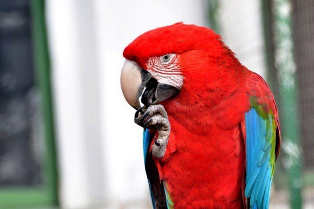 El Bioparque consolida el Proyecto de Conservación del Guacamayo Rojo