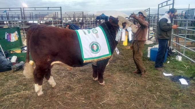 Cabaña La Camila de Castillo sacó el gran campeón Hereford en la Expo Otoño