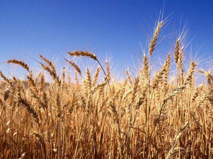 Afirman que aún es compleja la situación del trigo