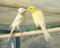 Exposición de canaricultura y ornitología