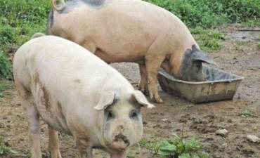 Detectan un cerdo con triquinosis en los controles bromatológicos de rutina