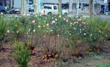 Poda de rosas en la Plaza Central