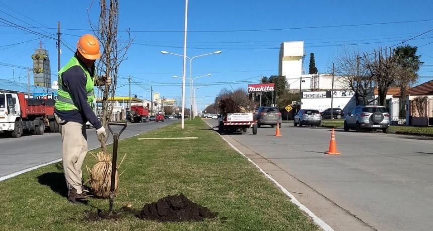 Nuevas plantas para los separadores de avenida Pringles