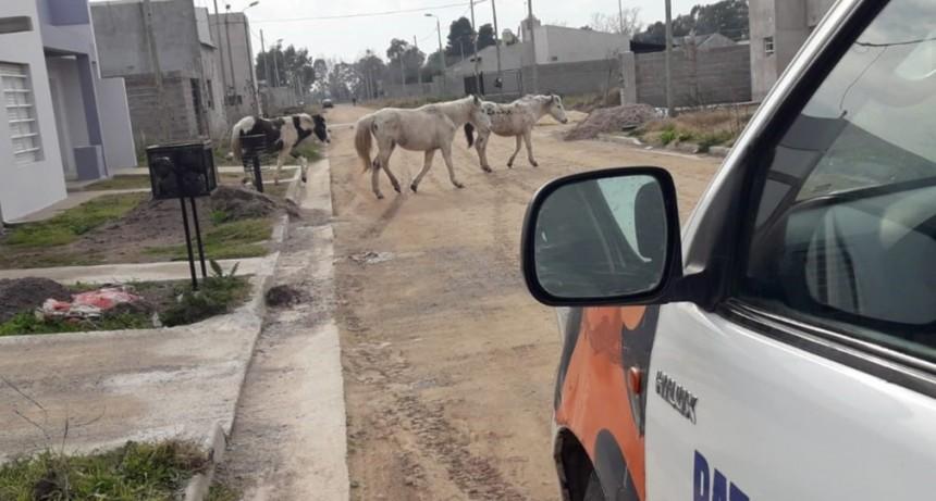 Infracción por animales sueltos en el barrio Pickelado