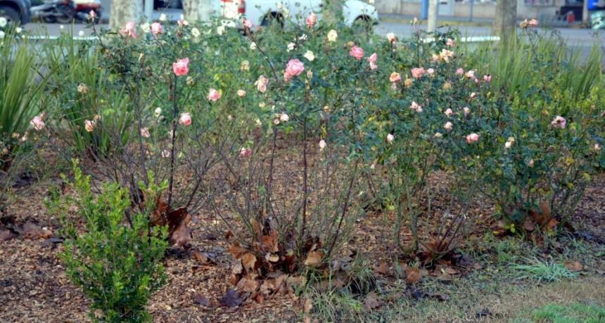 Se viene una nueva jornada de poda de rosas en la plaza