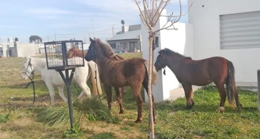 Equinos sueltos en la vía pública