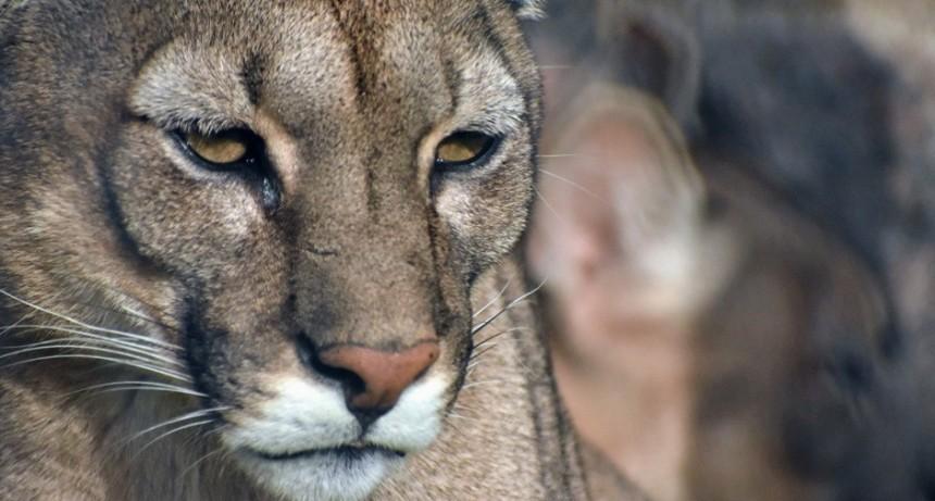 30 de agosto: Día Internacional del Puma