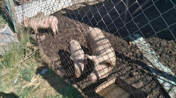 Recuperaron vivos lechones que habían sido robados