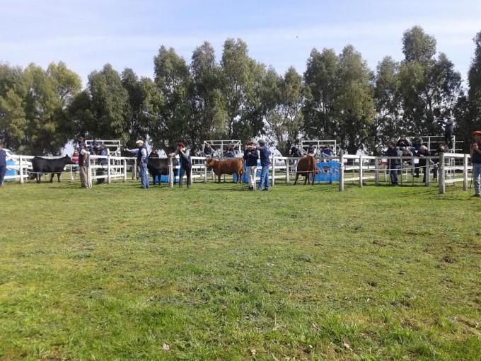 Exposición Nacional Angus de Primavera desde la Sociedad Rural de Olavarría