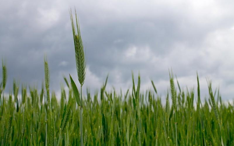 Estiman casi el doble de hectáreas para cultivos de fina en Olavarría este año