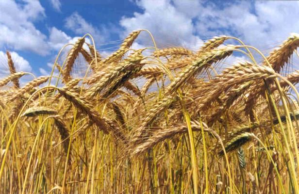 Productores agropecuarios advierten mejoras en el mercado del trigo