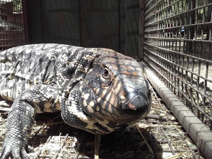 El Bioparque Municipal realizó la relocalización y liberación de un lagarto overo