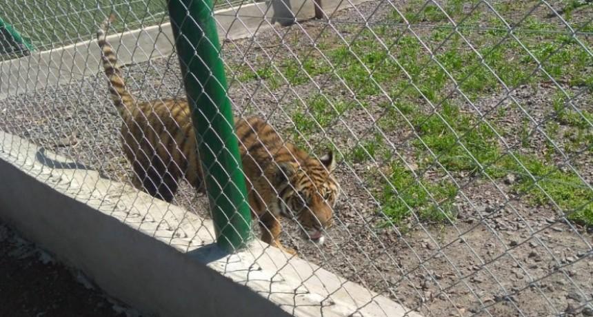 Encuentran un tigre, ñandúes, guacamayos y otros animales en el Club Hípico Las Sierras