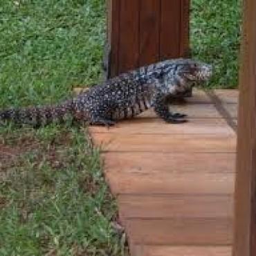 """El lagarto hoy por hoy está viviendo en la zona urbana"""""""