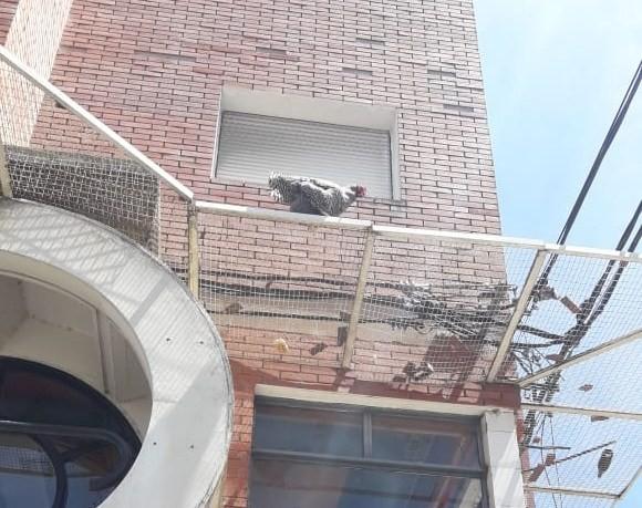 Los bomberos rescataron una gallina en un edificio
