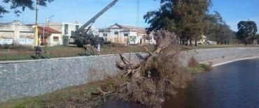 Lo que el viento se llevó: el eucaliptus fue retirado del Parque Mitre