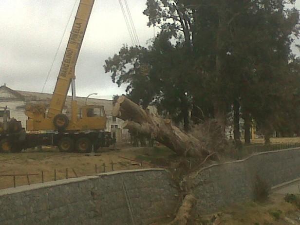 Quitaron del margen del arroyo el eucaliptus