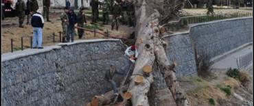 Se retira el eucalipto de la margen del arroyo Tapalqué