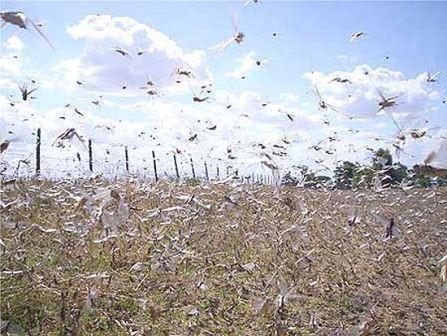 Tucura: la plaga se disemina en Tandil y en Olavarría descartan que haya que fumigar.
