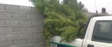 En un allanamiento encuentran plantas de marihuana
